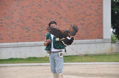 盛田先生のところまで飛んだハリスホーク