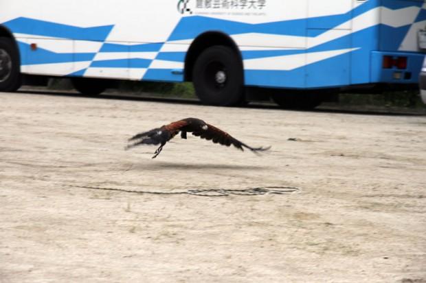 飛ぶハリスホーク