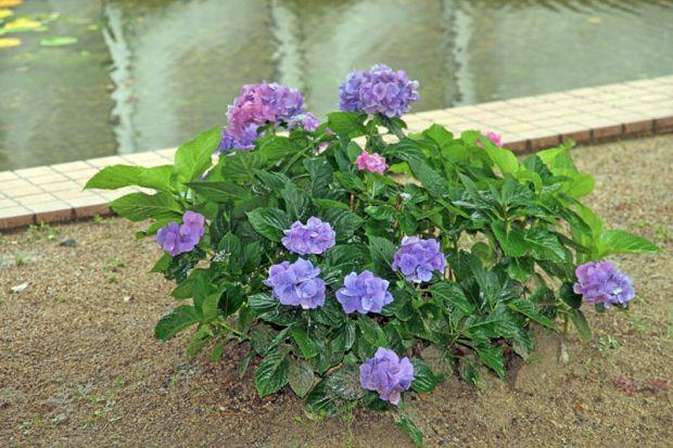 紫陽花一株