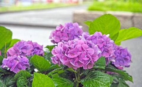 季節を彩る紫陽花の花について