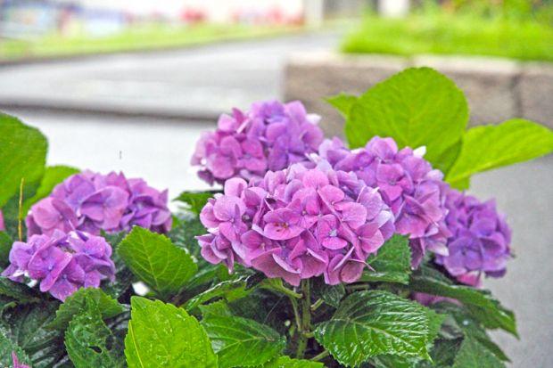 紫陽花の花アップ