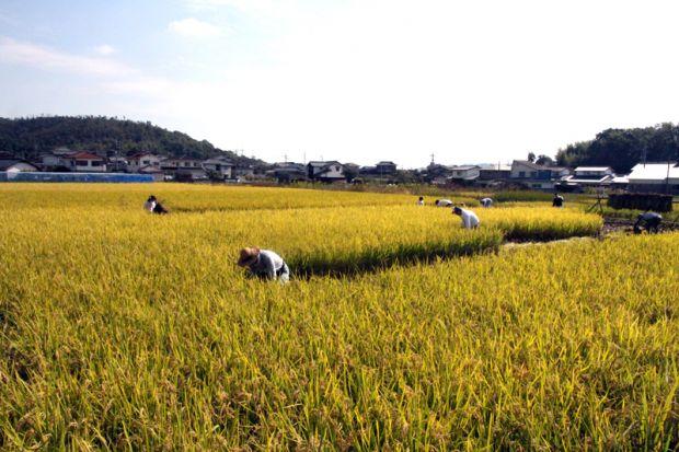 稲刈り(フィールドワーク)