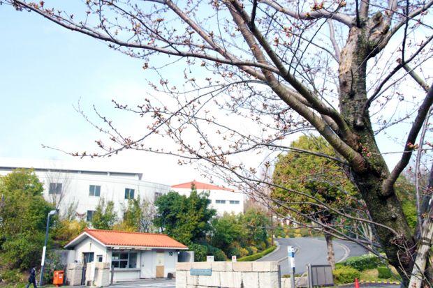 倉敷芸術科学大学正門前の桜