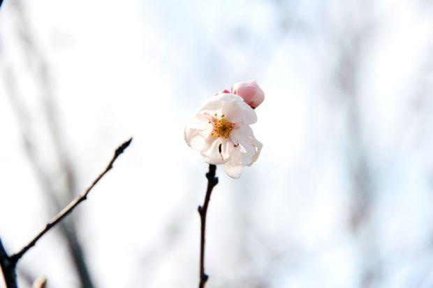桜の花接写