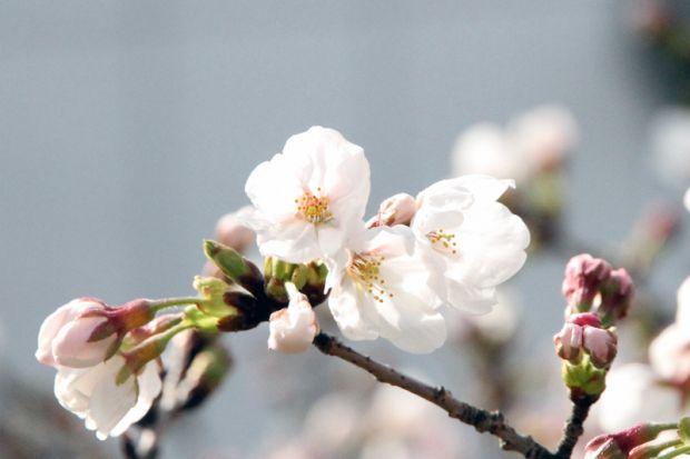 2号館裏の桜