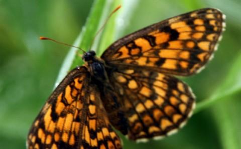 河邉教授が絶滅危惧種の蝶(ウスイロヒョウモンモドキ)200匹の羽化に成功。