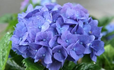 梅雨に咲く紫陽花