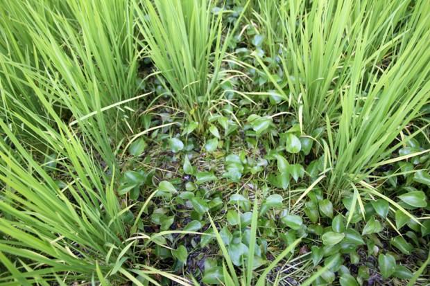 稲の間に生える水草