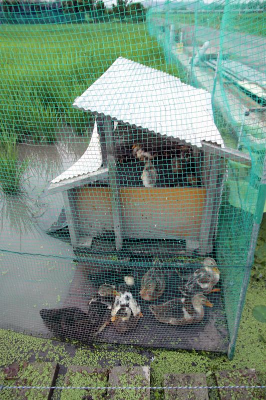 合鴨の小屋