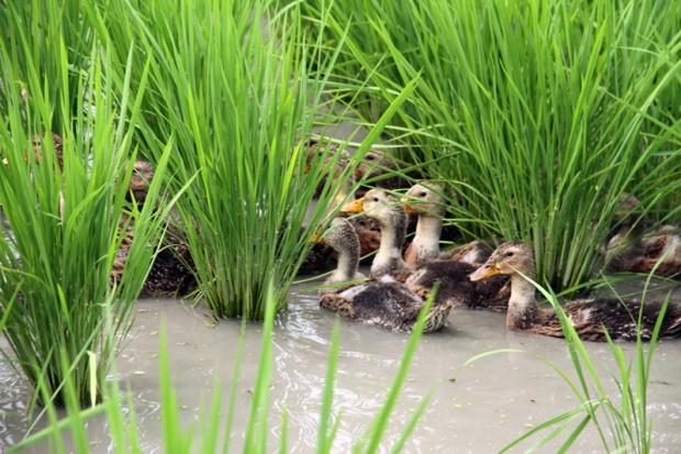 稲の間に入る合鴨