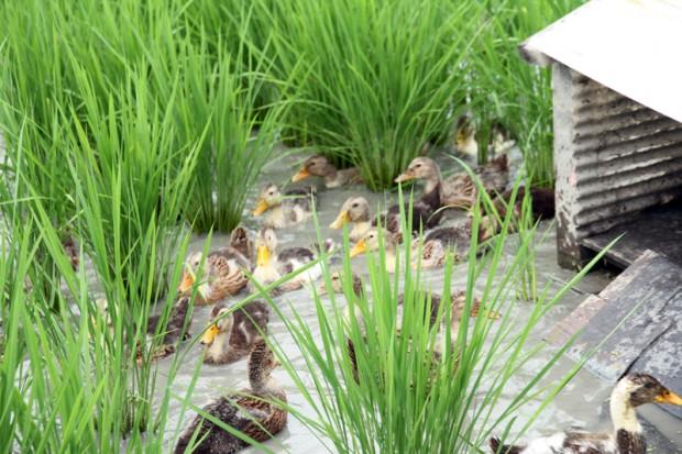 小屋の周りの合鴨