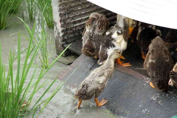 小屋に戻る合鴨