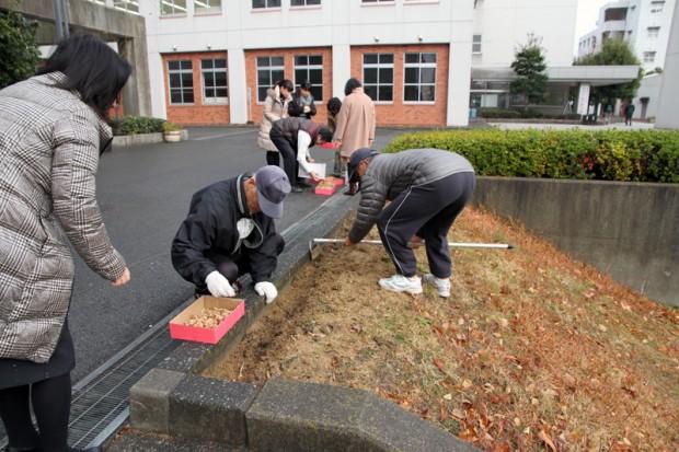 フリージアの球根を植える作業