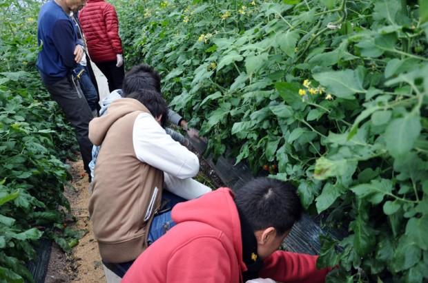 清友園芸トマト栽培見学
