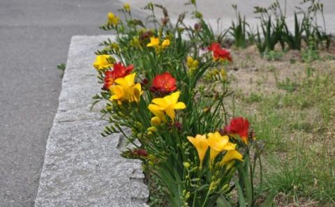 フリージアの花が友好の架橋。Vol.4