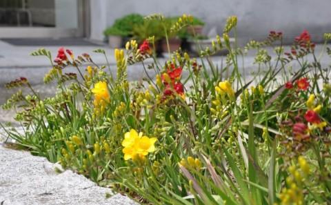 フリージアの花が友好の架橋。Vol.5