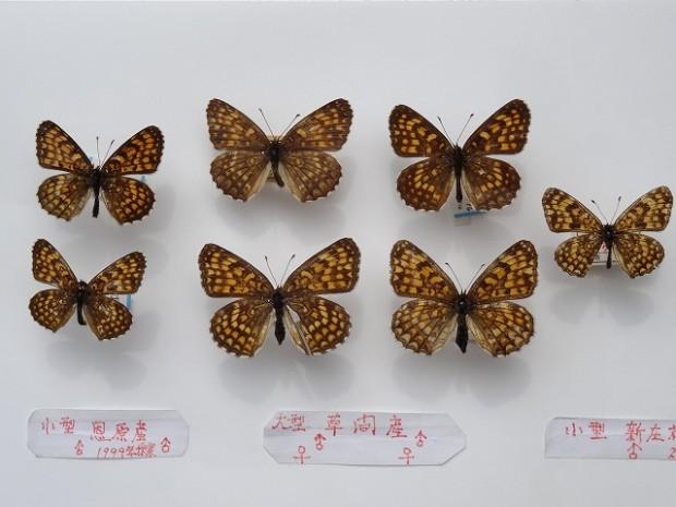 ウスイロヒョウモンモドキの標本