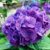 青紫紫陽花