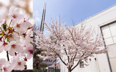 キャンパス内の桜が満開です。