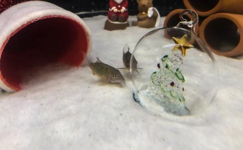 「クリスマス」をテーマにした水槽展示(12/17まで実施)