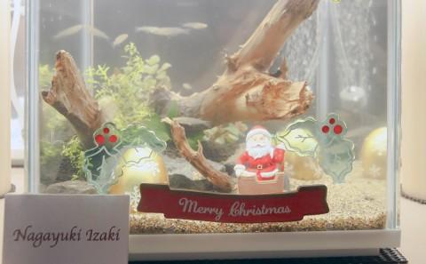 マリンバイオコースのクリスマス展示(24日(木)クリスマスイブまで)